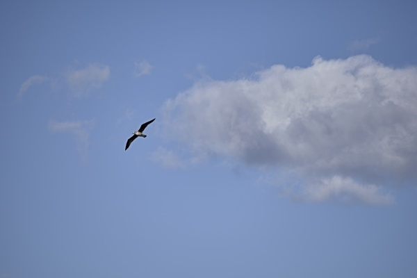 seagull flying between clouds