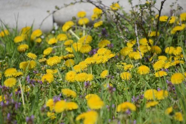 flowering dandelions in the clearing meadow