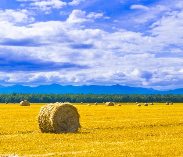 the big round bales of straw