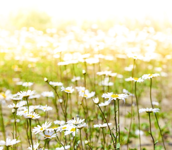 the chamomile flowers field wide background