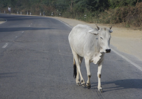 cow as a sacred animal in