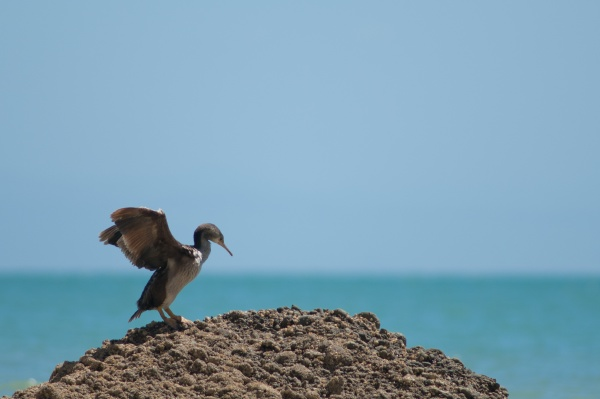 pied shag flapping