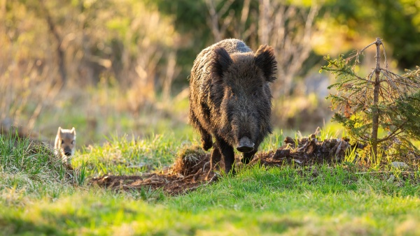 wild boar mother and striped piglet