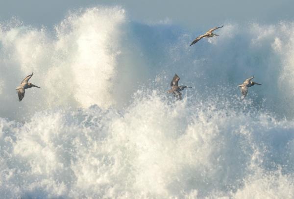 pelicans flying in big surf