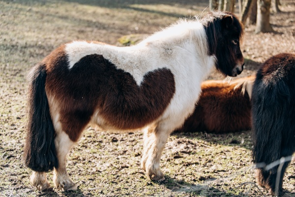 shetland pony grazing on a green