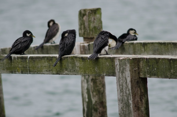 little pied cormorants