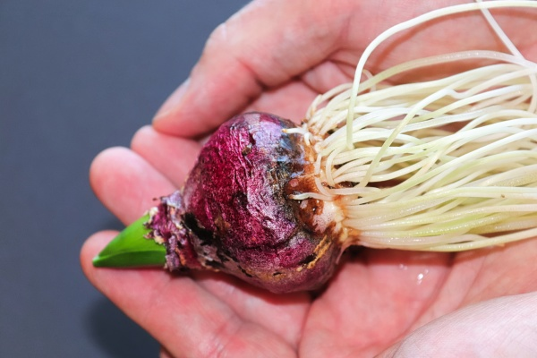 hands holding a hyacinth bulb with