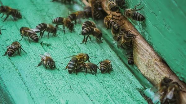 close up of bees at the
