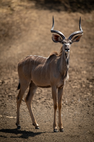 male greater kudu stands on rocky