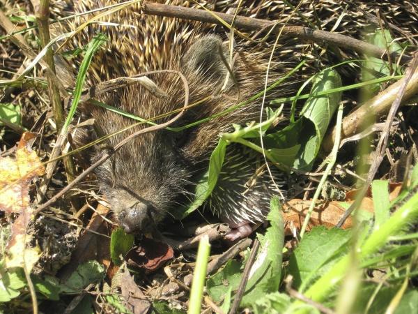 hedgehog the prickly mammal is