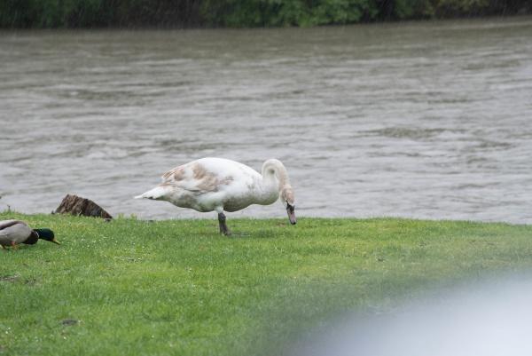 white swan a flying bird