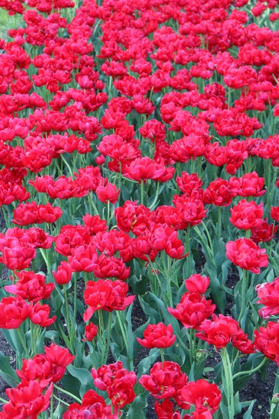 red tulips on flower bed in