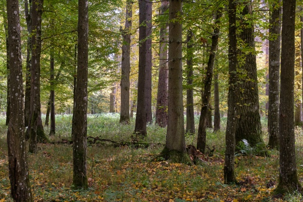 group of old hornbeams in autumn