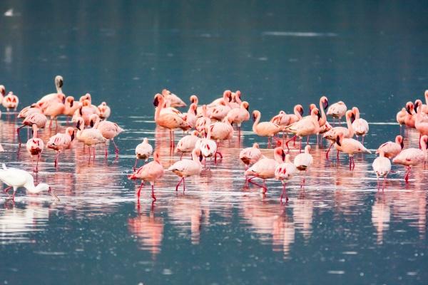 pink flamingos flock nakuru lake kenya