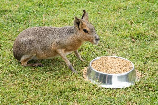 patagonian mara eating from the bowl