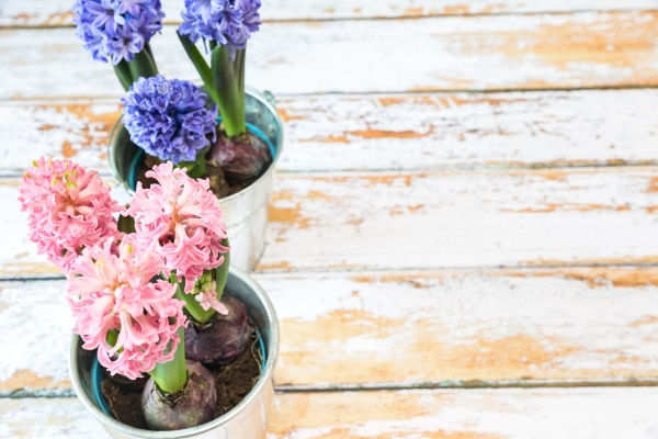 blooming blue and pink hyacinth bulbs