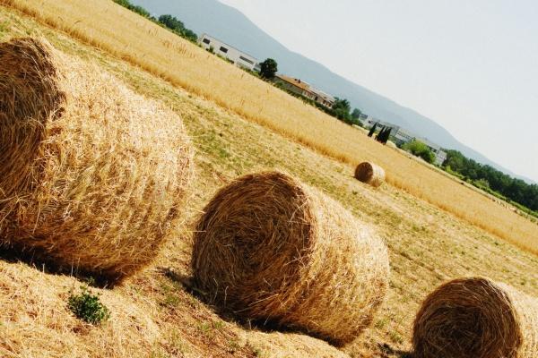 hay bales in a field siena