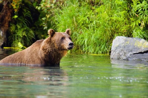 grizzly bear ursus arctos horribilis wading
