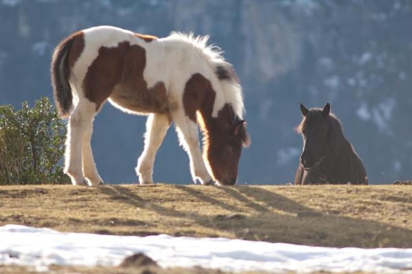 ponies equus ferus caballus in the
