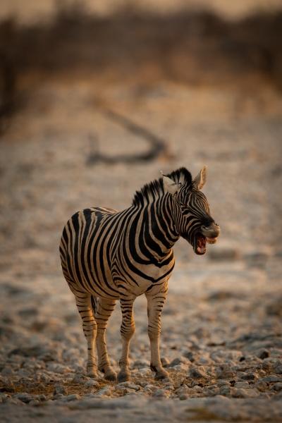 plains zebra stands barking on rocky