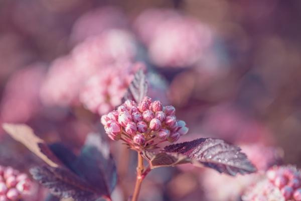 close up of of physocarpus opulifolius