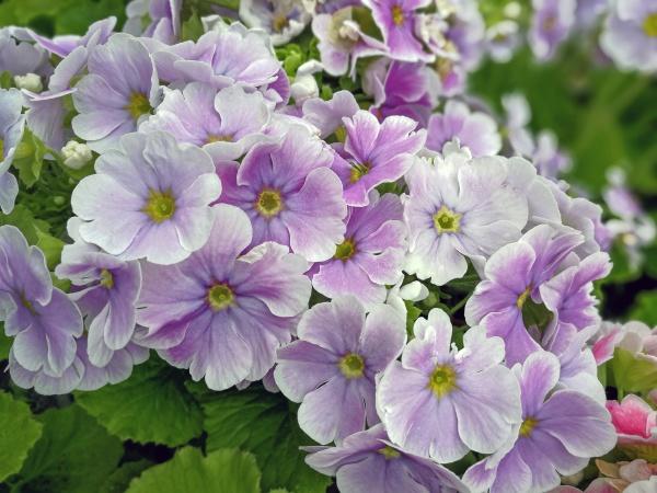 lovely light purple primula flowers in