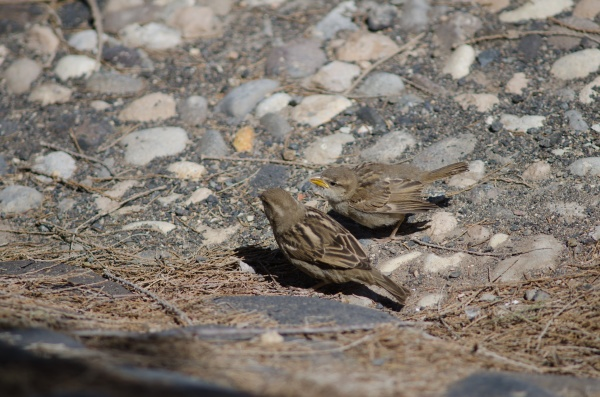 young spanish sparrows asking their mother