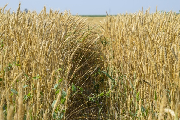 mature wheat on the field
