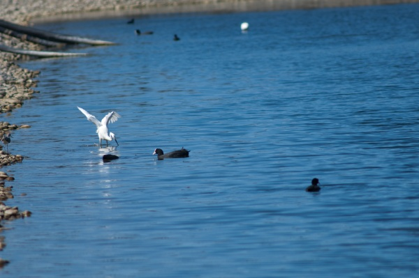little egret fishing and eurasian coots