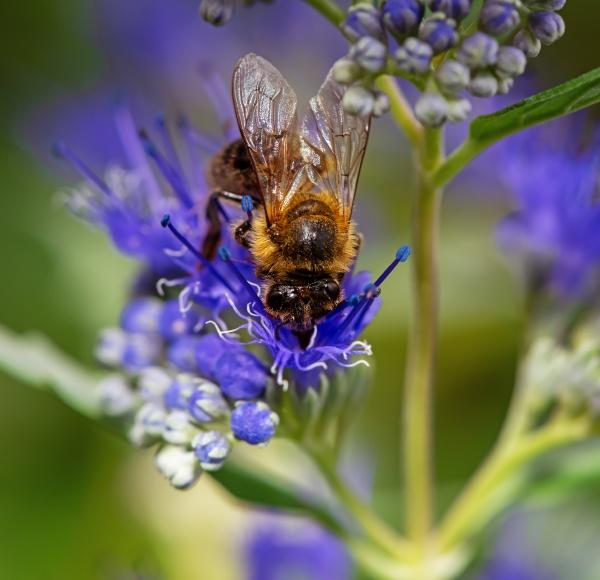 bee on a bluebeard flower blossom