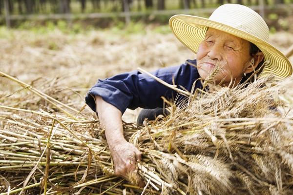farmer collecting bundles of wheat stalk