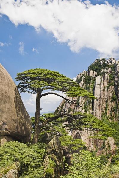 tree on a mountain huangshan anhui