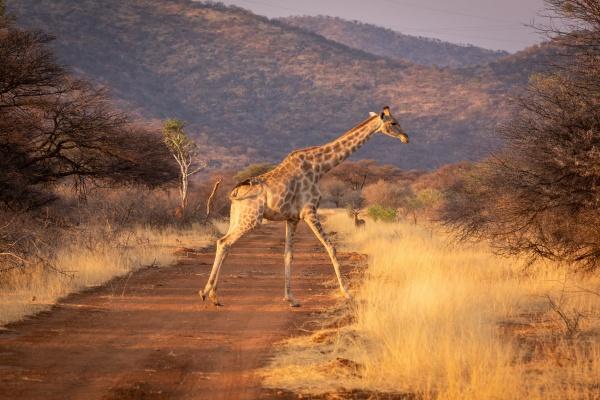southern giraffe crosses dirt track near