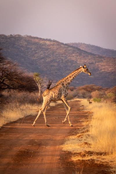 southern giraffe gallops across straight dirt