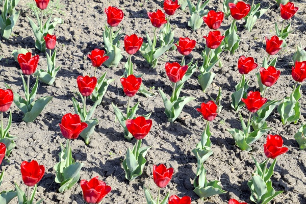 red flowers of tulips on a