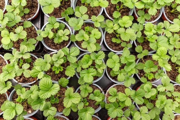 strawberry seedlings in pots