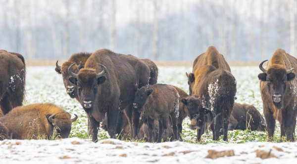 european bison herd resting in snowy