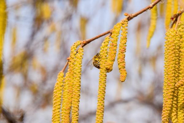 pollination by bees earrings hazelnut flowering