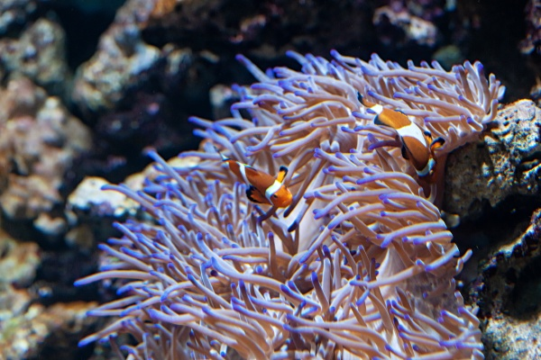 ocellaris clownfishes with sea anemone