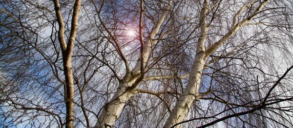 spring tree birch