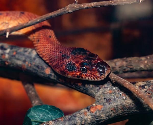 spalerosophis atriceps or diadem snake royal