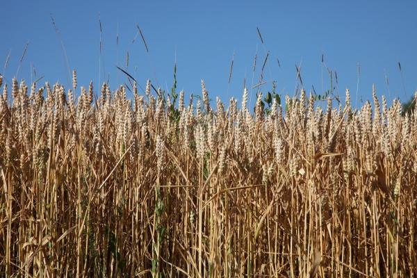 wheat growing in field