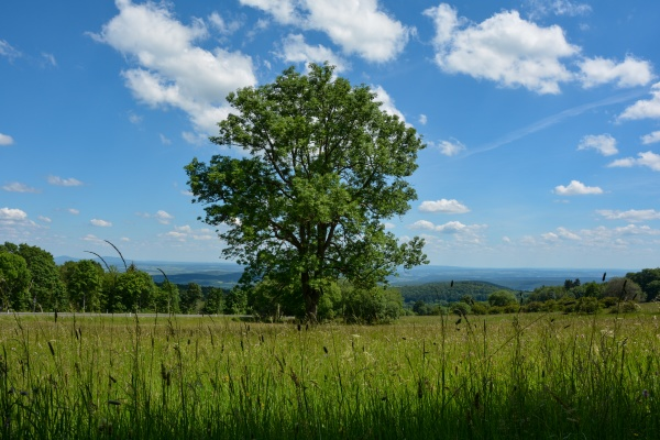 big tree and meadow in the