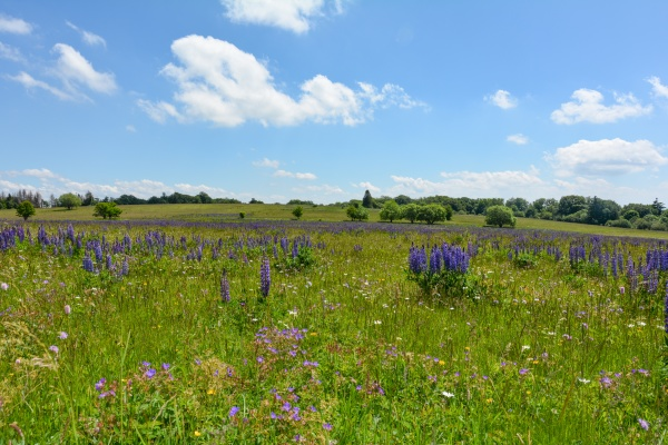 meadow with lots of lupins in