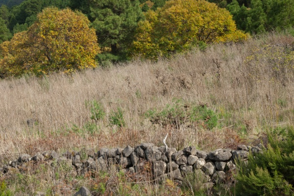 rock wall and sweet chesnuts castanea