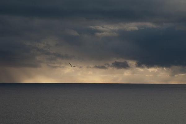 atlantic gull flying at sunset over