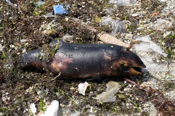 body of a dead dolphin cub
