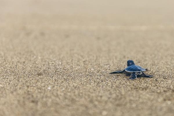 baby turtle at pantai pandan sari