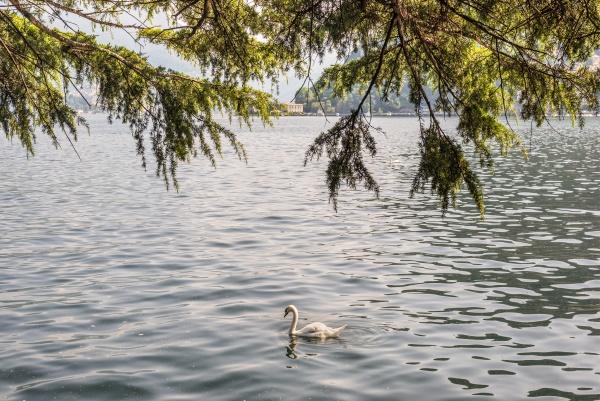 swan by lake como