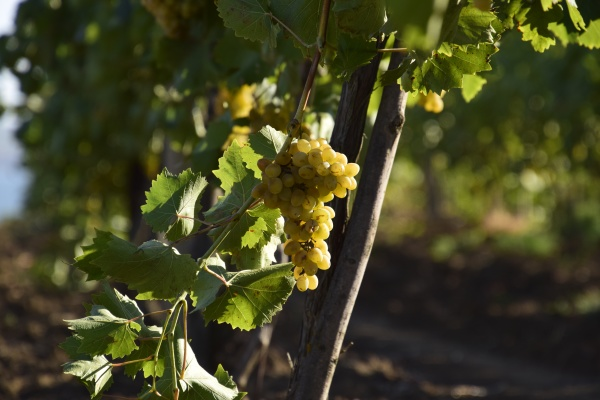 the grape gardens cultivation of wine